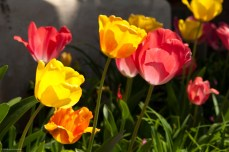 Overblown tulips backlit by the sun.