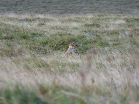 The neighbourhood fox, during daylight