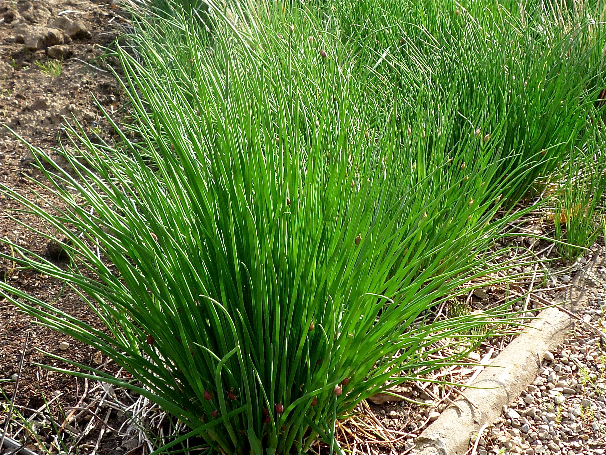 Chives are perennials and will reappear each spring in your garden