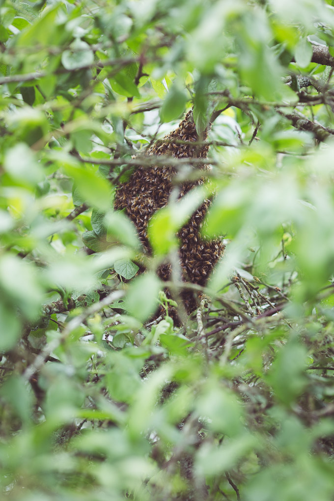 A Swarm in the Plum Tree -- Wild honey bee swarm | https://theseasonaltable.co.uk/smallholding/a-swarm-in-the-plum-tree/