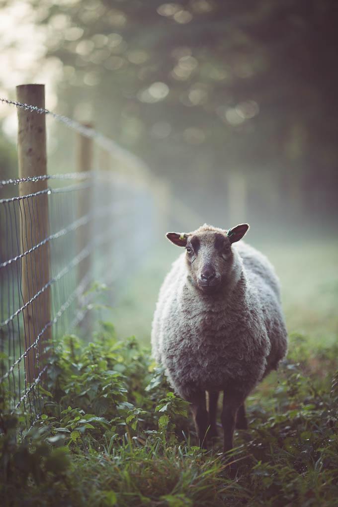 Shetland Sheep -- Smallholding | https://theseasonaltable.co.uk/smallholding/shetland-sheep/
