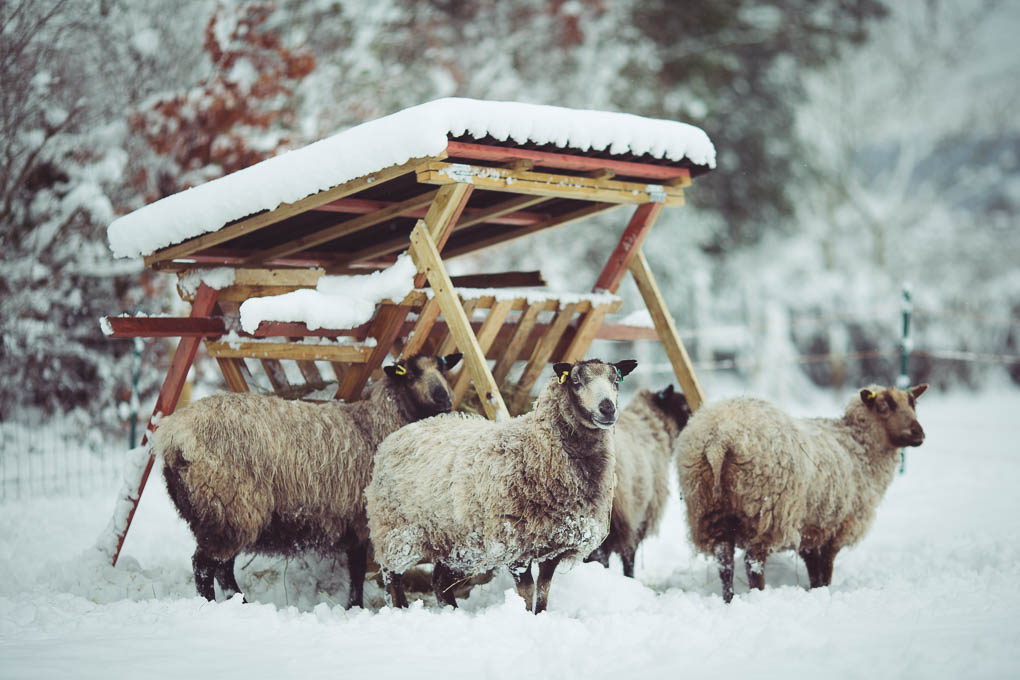Shetland Sheep -- Hardy sheep breed | https://theseasonaltable.co.uk/smallholding/shetland-sheep/