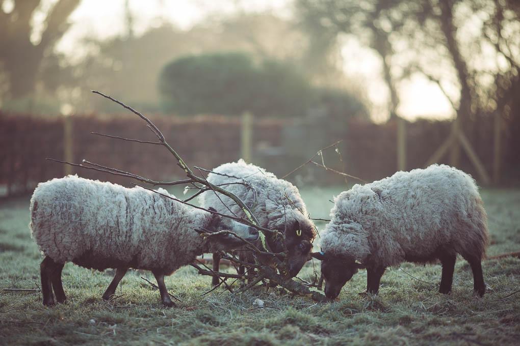 Shetland Sheep -- Sheep fodder | https://theseasonaltable.co.uk/smallholding/shetland-sheep/