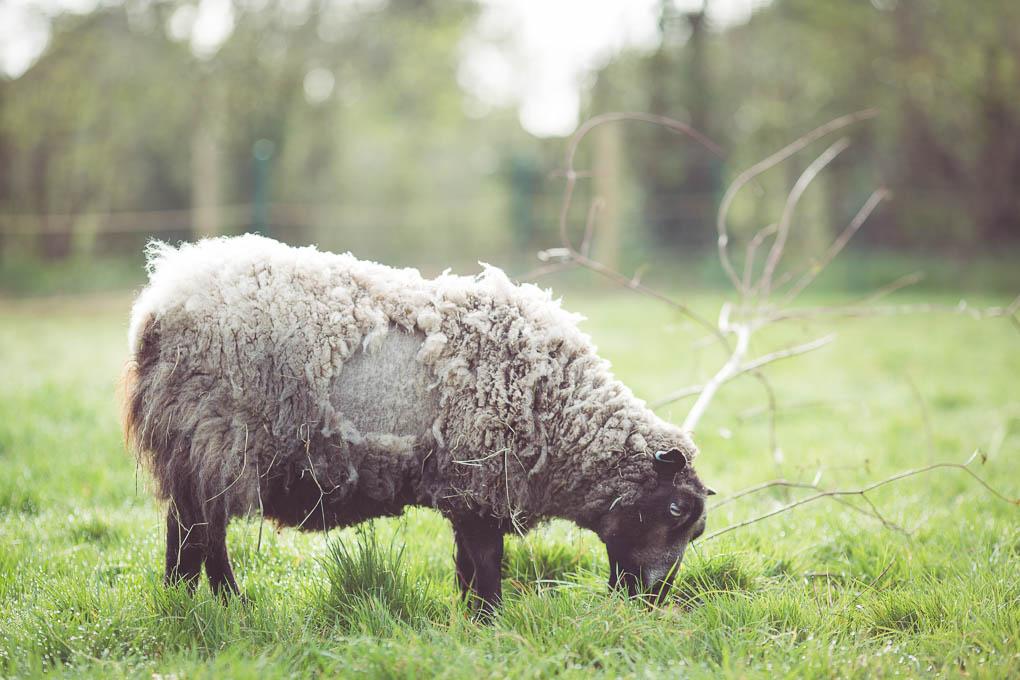 Shetland Sheep -- Rooing fleece | https://theseasonaltable.co.uk/smallholding/shetland-sheep/