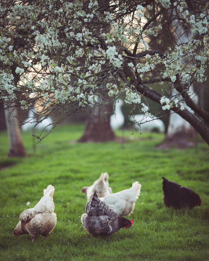 Chickens: Creating a Dual-Purpose UK Easter Egger Flock – Part 3 | Foraging| https://theseasonaltable.co.uk/smallholding/chickens-creating-a-dual-purpose-uk-easter-egger-flock-part-3/