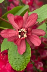 An unusual shrub with aromatic bark, foliage and flowers. Easy to grow.