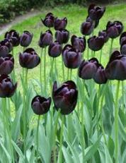 Tulip 'Queen of the night'