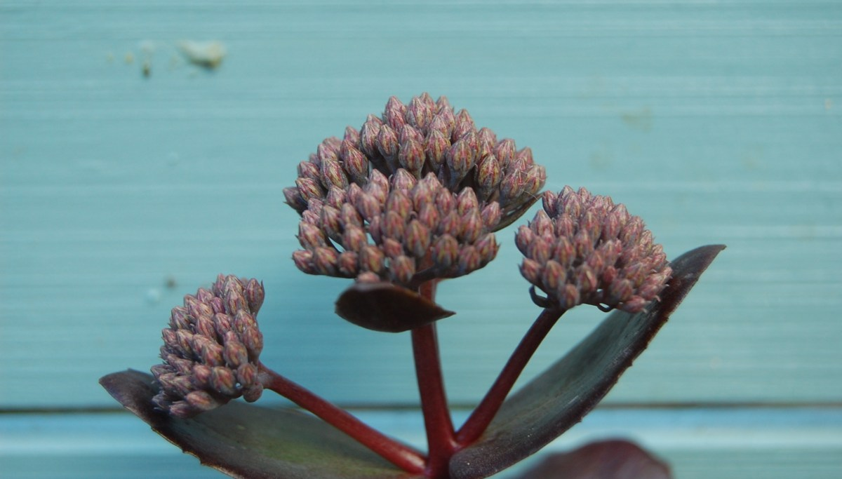 Sedum Chocolate Drop