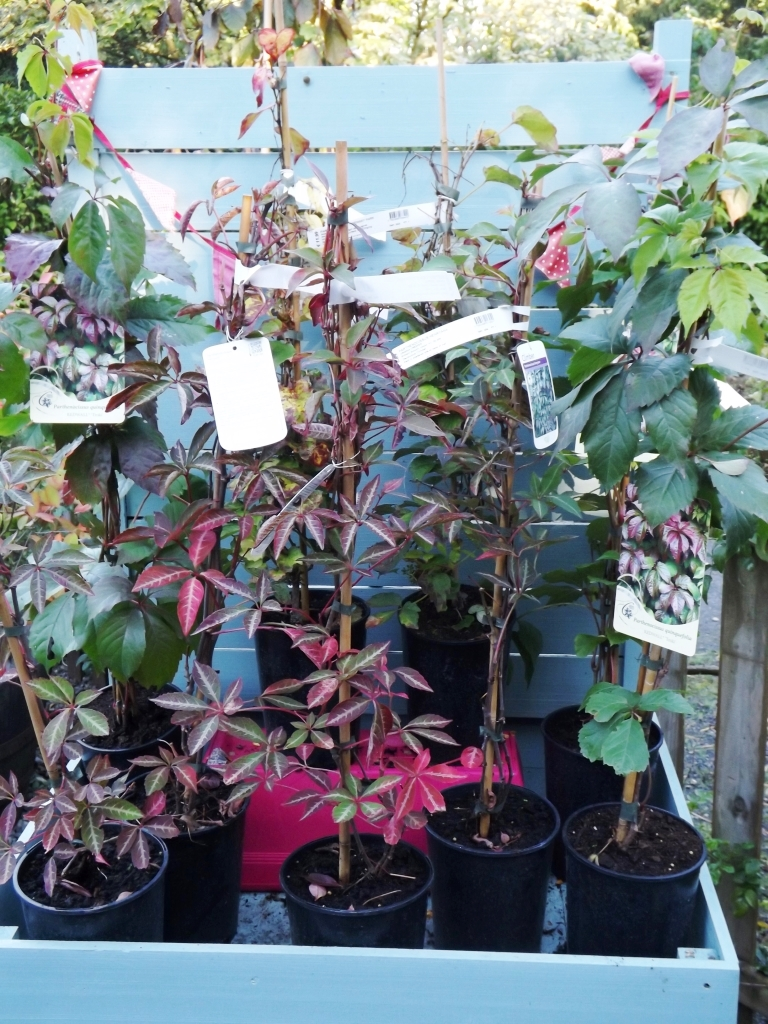 Plant of the week: Parthenocissus