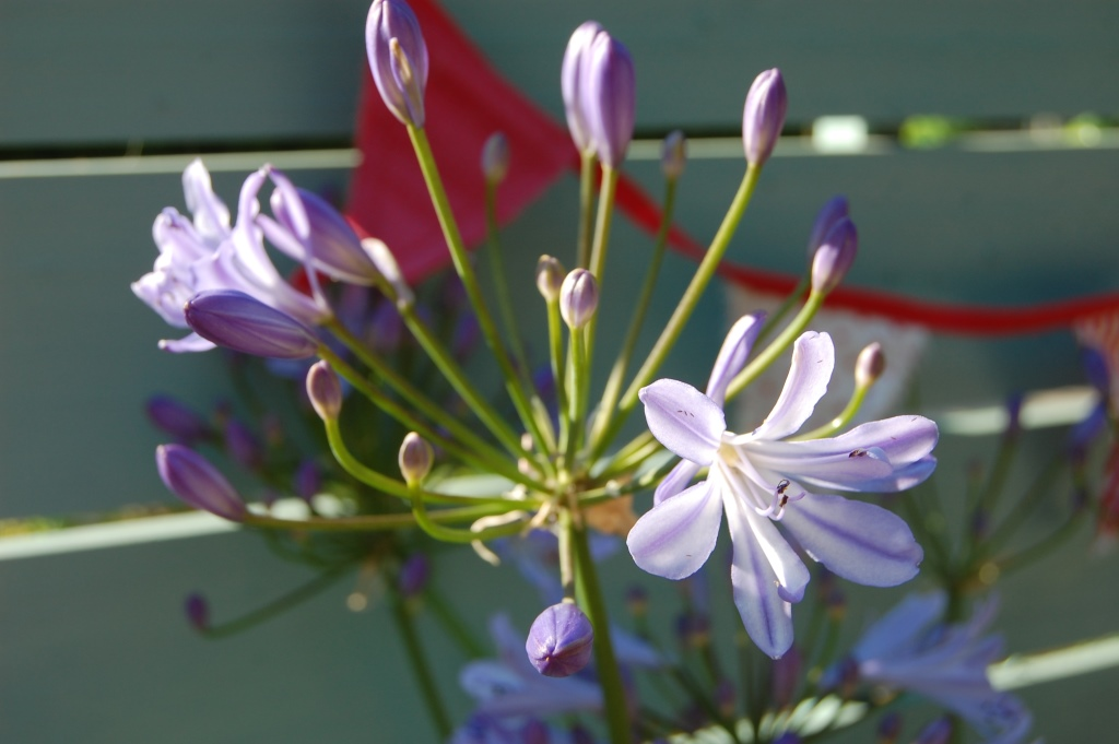 Plant of the week Agapanthus