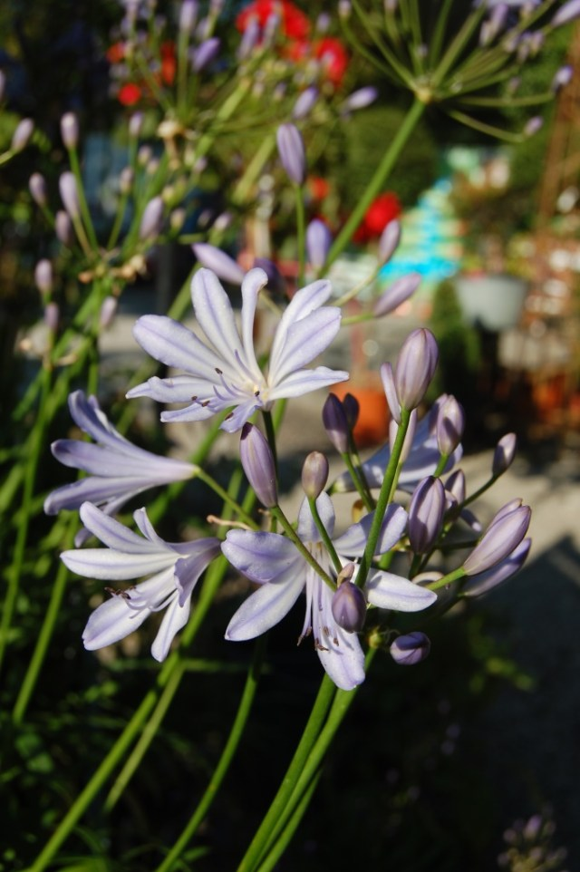 Plant of the week Agapanthus1