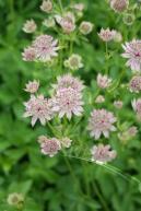 astrantia-major-florence