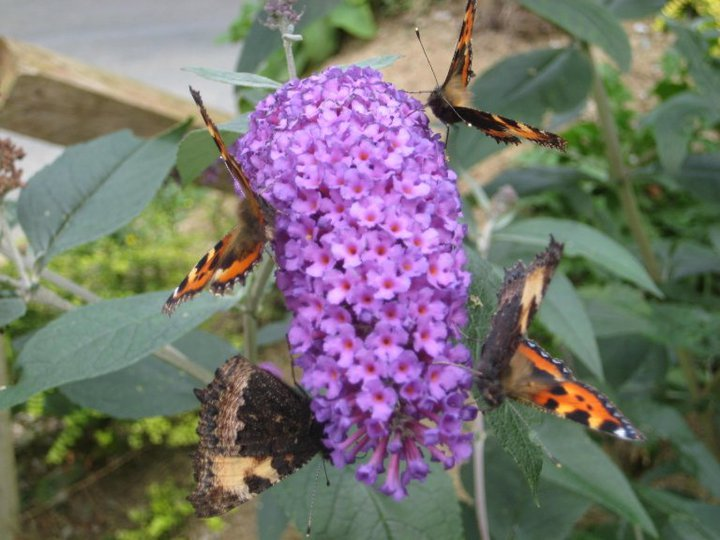 The potent nectar of buddleia