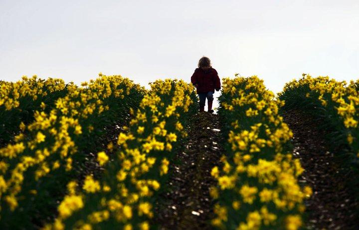 West Cork Daffodil farm