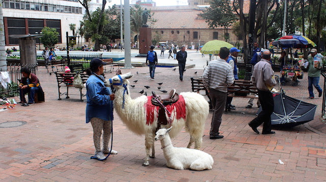 Lama in Bogota streets