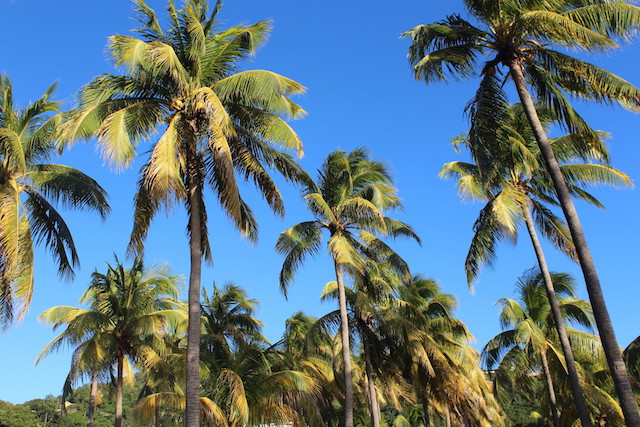 Palm trees in Bequia, Grenadine islands