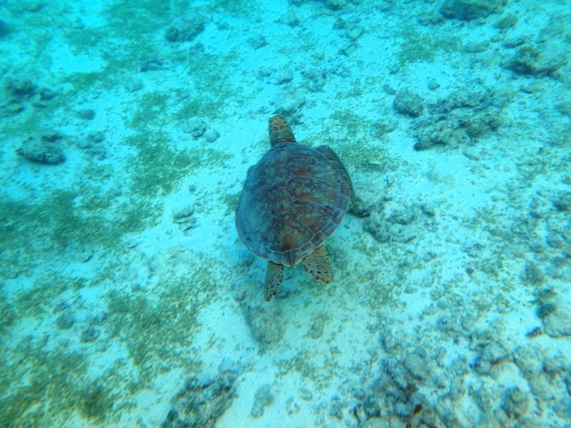 Swimming with turtles in Tobago Cays