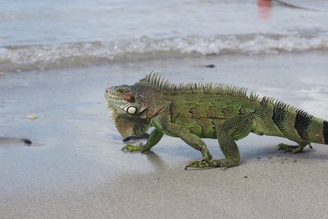 An iguana on the beach at Le Marin in Martinique