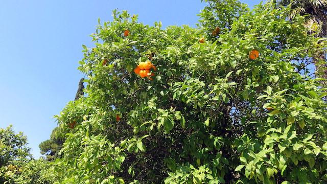 Beautiful orange tree in Athens