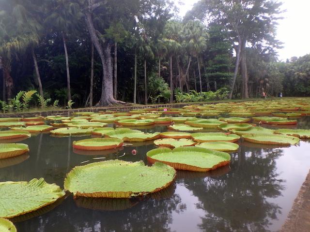 Wandering through the Botanical garden in Mauritius