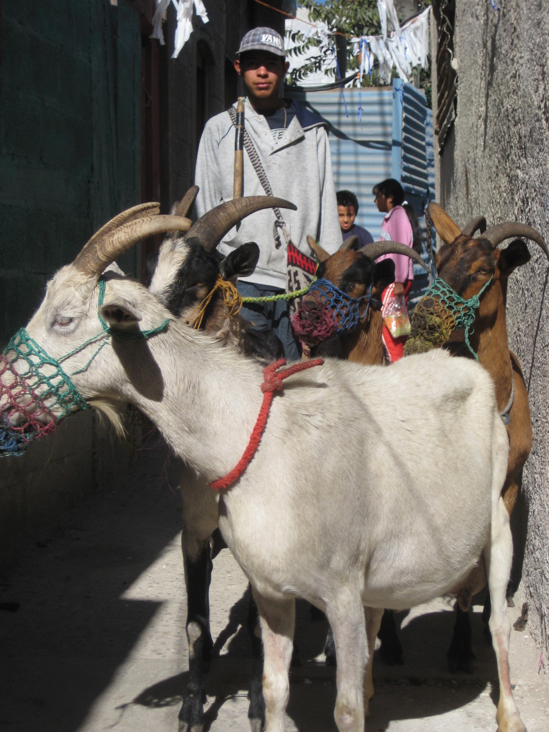 Guatemala goat