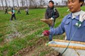 Farm workers spread fertilizer pellets on wheat fields in China in 2011. Overuse of these nutrients on farms is only one source of nitrogen and phosphorus entering the environment.