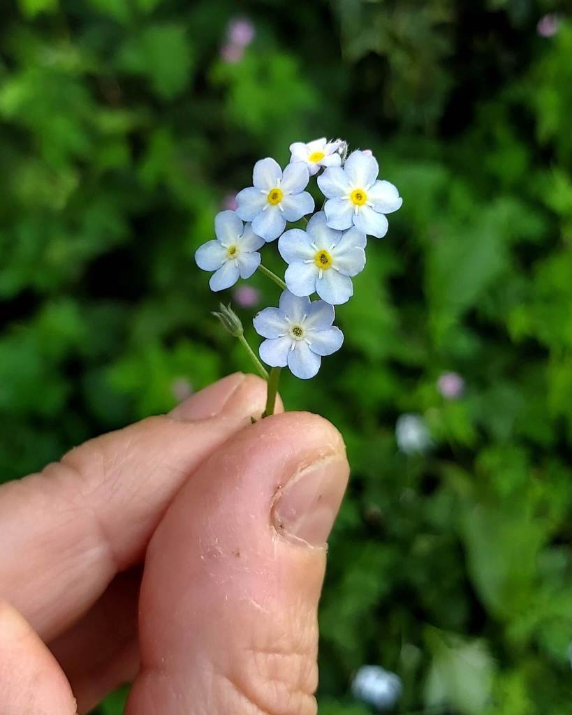 forget me not close up in hand