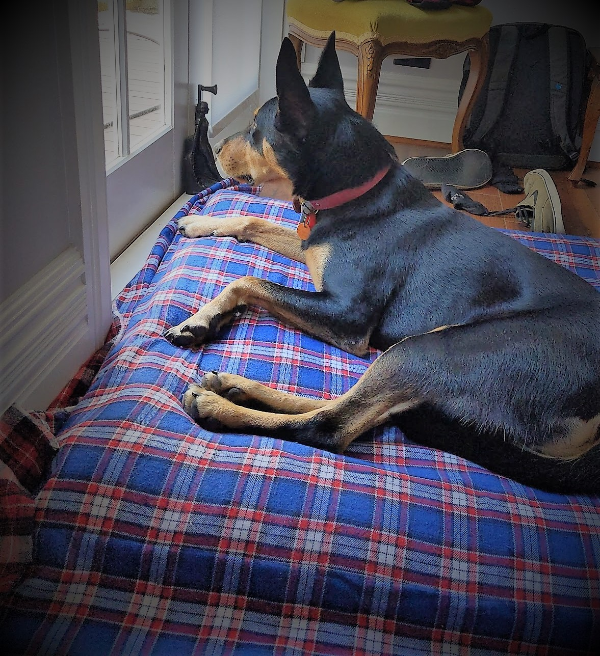 A black and tan keplie sits on a blue and red check flannel bed.  He is looking out of the window.