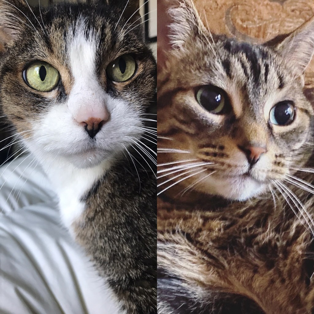 Two close-up pictures of cat faces in a collage.