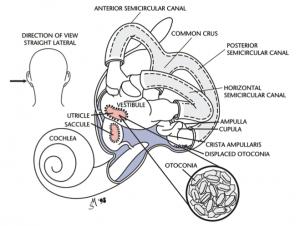 BPPV Anatomy