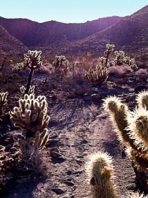 desert cholla
