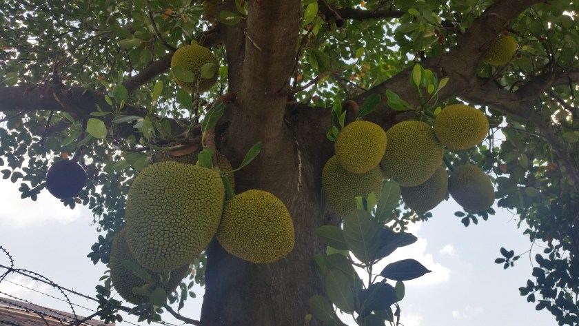 A Jackfruit Tree Right in the Middle of Phnom Penh.