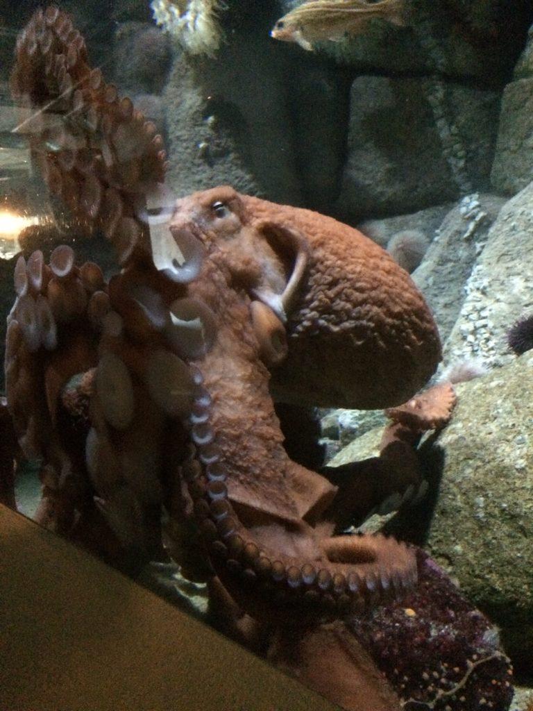 Giant Pacific Octopus Monterey Bay Aquarium
