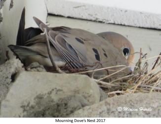 gray jay nest 4