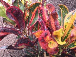 Mammey Croton