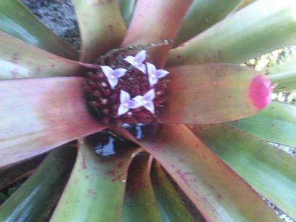 Painted Fingernail Bromeliad