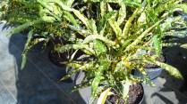 Sloppy Painter Croton