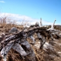 A former tree trunk sitting near trail 2. Sandy Neck Marshes and plain. Cape Cod, MA
