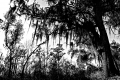 Predator Trees Are Everywhere...Jean Lafitte National Historical Park and Preserve. New Orleans, LA