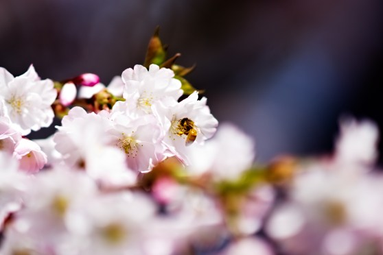 Cherry blossom and honey bees at Chanticeleer Garden and Rosengarten estate. Wayne, PA