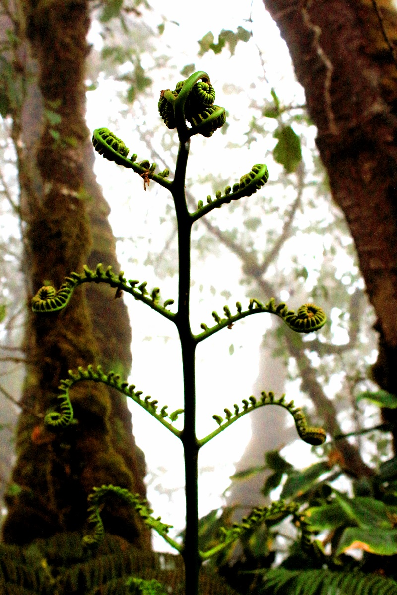 Sprouting Fern, Kohala Ditch System, White Road Hike, Kamuela Hawaii, Waimea, The Big Island, Hiking, Photography, Tropical Rainforest