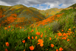 California Poppy, Walker Canyon, Lake Elsinore, Hiking