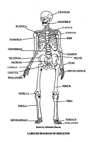 PICTURES OF BONES | The Skeletal System
