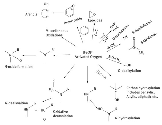oxidation reactions CYP450 cytochrome p450 enzymes