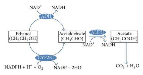 alcohol dehydrogenase CYP2E1 ethanol acetaldehyde metabolism pathway