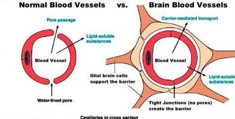 blood brain barrier blood vessels transport