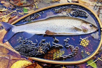 Autumn Grayling