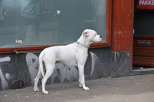 The Rajapalayam is a royalty dog found among aristocrats in Southern India.