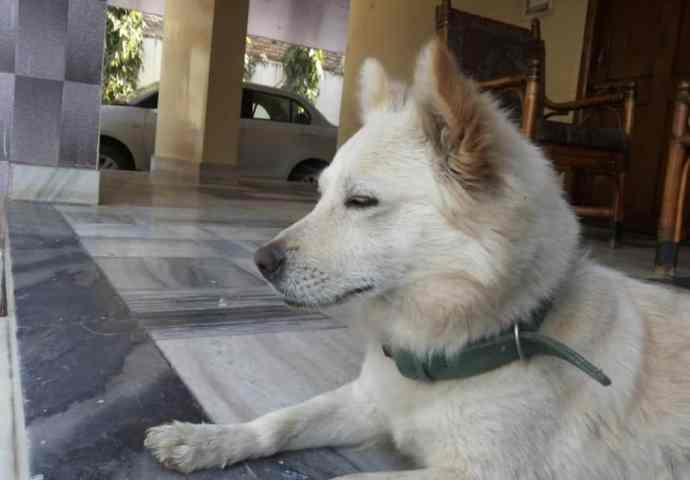 The Indian Spitz is a breed recognized by the Indian Kennel Club.