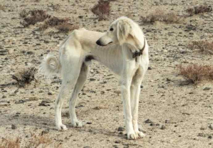 Taji or Tazi dog breed is nearly extinct in India.